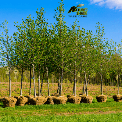 Natures Shade Tree Care - Tree and shrub planting with trees ready to be planted lined up side by side on the grass