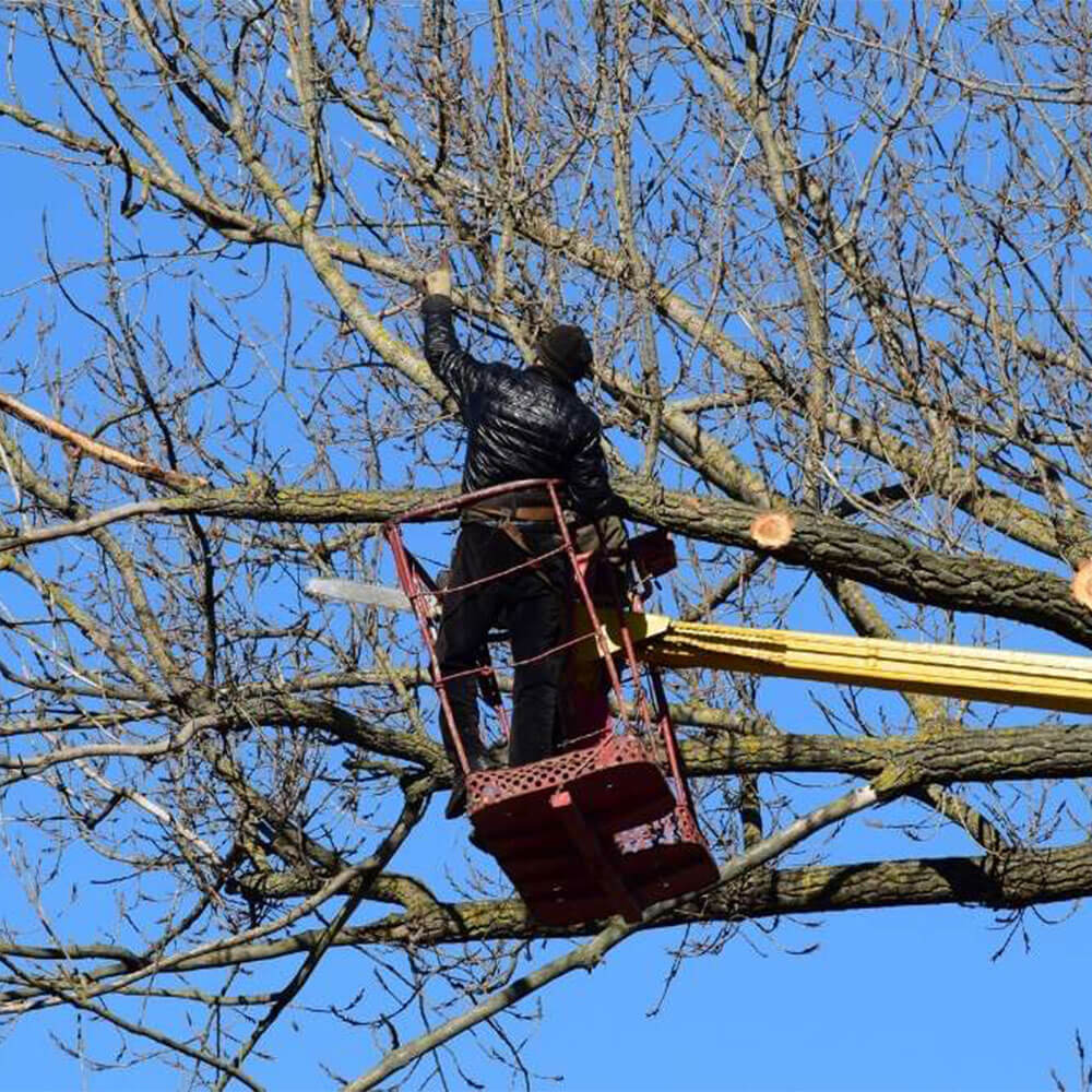 Tree Care worker cabling a tree in Newmarket