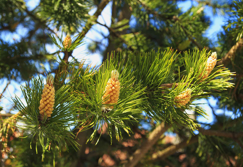 Medium sized bright yellow pinecones and green pine needles growing on a pine tree