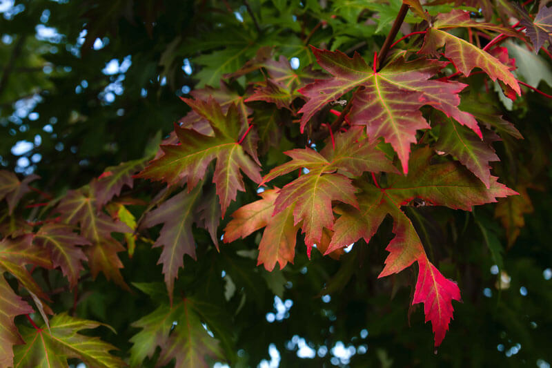 Brown and red maple leafs growing on a big tree
