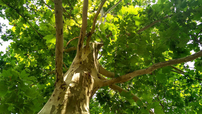 Big mature tree with brown branches and green leaves