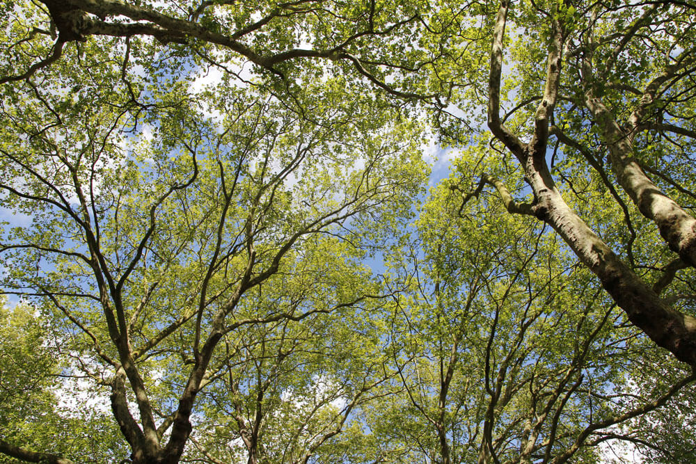Upwards looking photo of silver maple branches showing sky in between