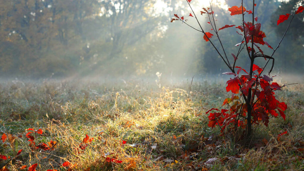 sapling with red leaves on the foreground of a field with sunlight shining through mist
