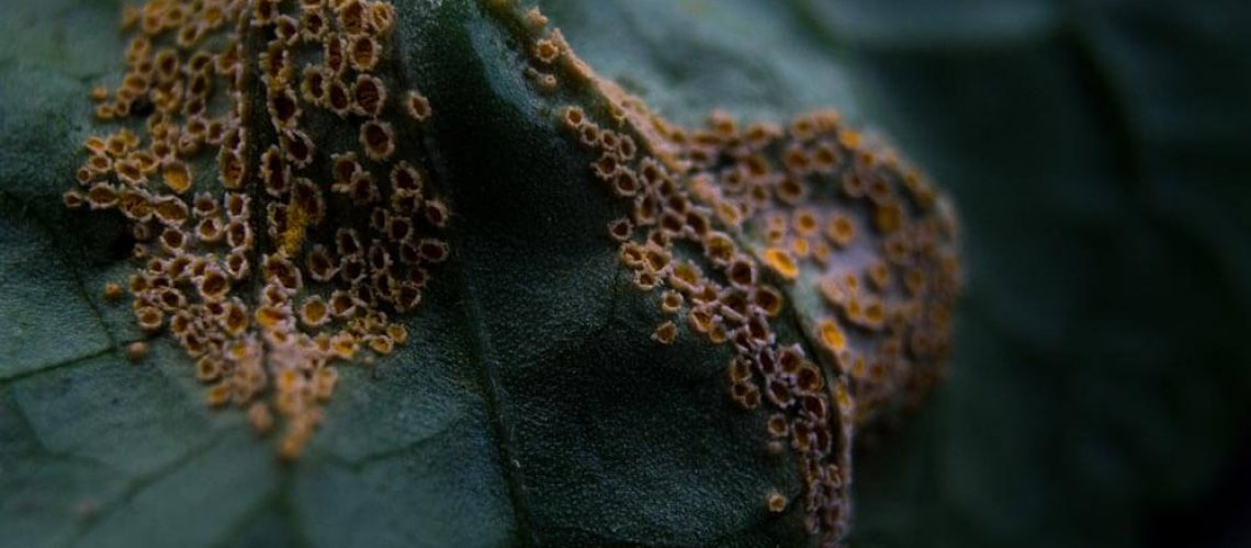 Puccinia violae, one of the most common leaf diseases
