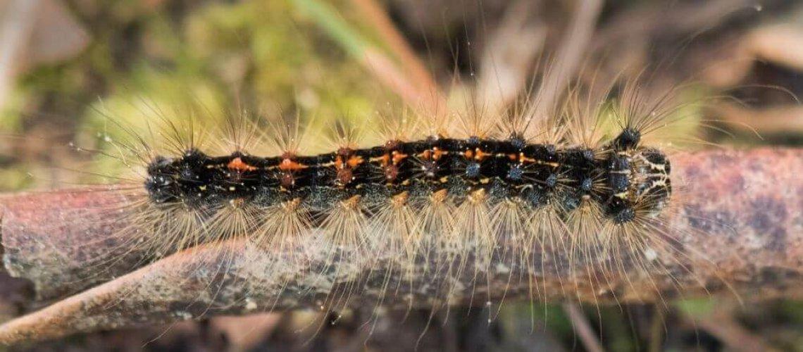 gypsy moth in ontario, canada